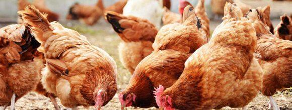 Pakistan Poultry